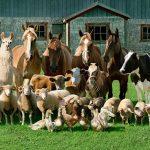 Animali da reddito